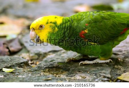 Portrait of beautiful Yellow-headed Amazon Parrot  - stock photo