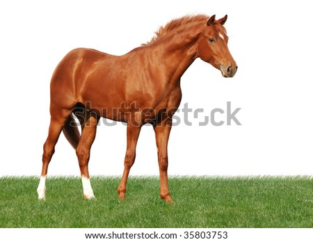 portrait of beautiful young warmblood horse standing in grass isolated on white - stock photo