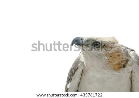 Portrait of beauty hawk ,Changeable Hawk Eagle (Nisaetus limnaeetus) - stock photo