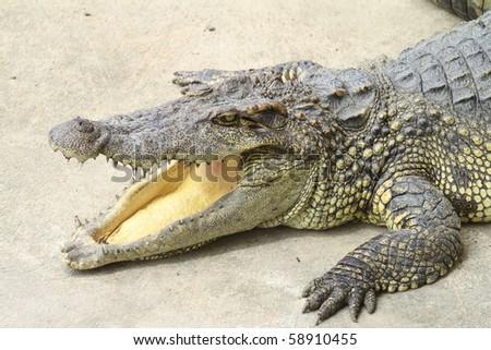 Portrait of big crocodile at the - stock photo