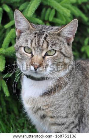 Portrait of big tabby cat with collar of fleas. Adult gray tabby cat is outdoor.