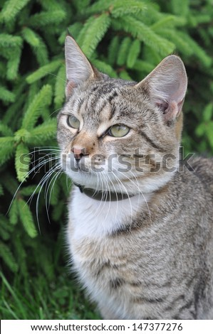 Portrait of big tabby cat with collar of fleas.  Adult gray tabby cat is uotdoor. - stock photo