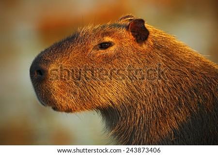 Portrait of biggest mouse around the world, Capybara, Hydrochoerus hydrochaeris, with evening light during sunset, Pantanal, Brazil - stock photo