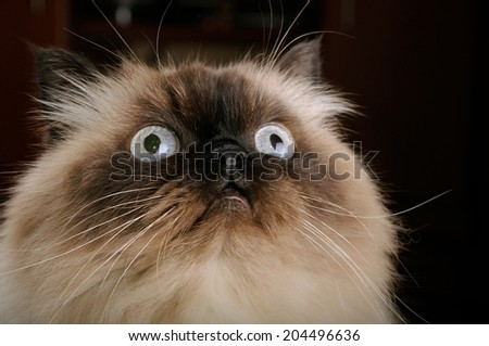 Portrait of birman cat with big eyes closeup - stock photo