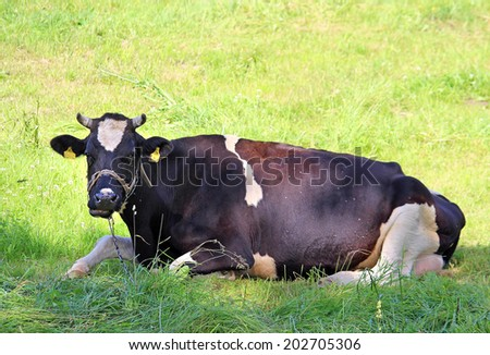 Portrait of black and white cow gazing - stock photo