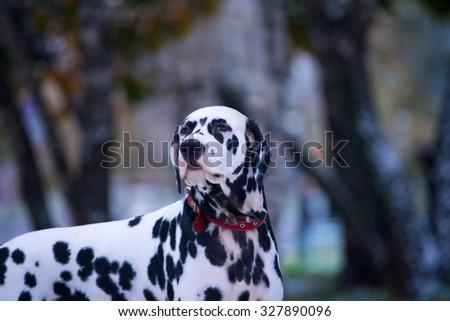 Portrait of black and white dalmatian dog breeding on a background nature - stock photo