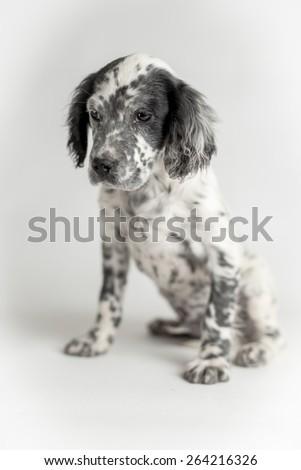 Portrait of black and white english setter puppy dog. Sitting position, white background - stock photo