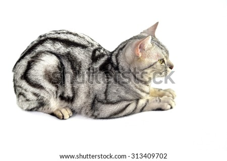 Portrait of black and white stripe cat on white background