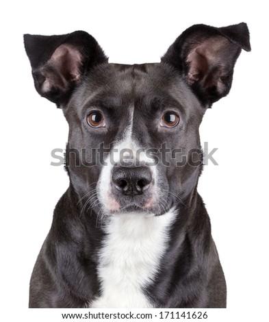 Portrait of black cute dog isolated on white background - stock photo