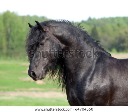 Portrait of black friesian stallion in field - stock photo