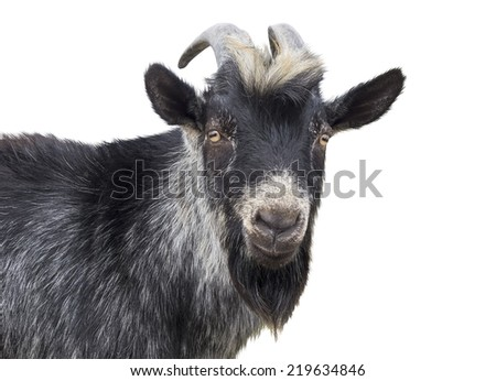 Portrait of black goat on a white background - stock photo