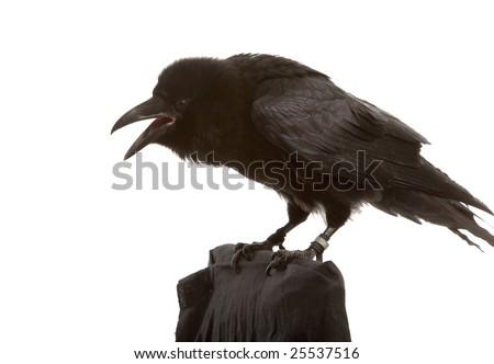portrait of black raven on white background - stock photo