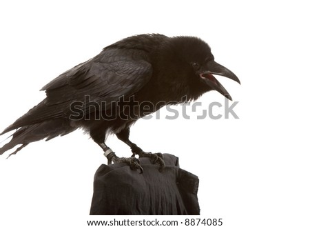 portrait of black raven on white background