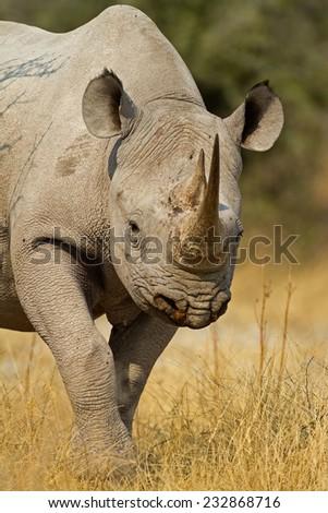 Portrait of Black Rhinoceros; Diceros bicornis - stock photo