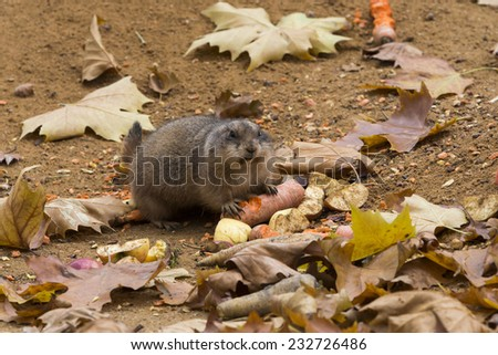 Portrait of black-tailed prairie dog with a carrot - stock photo