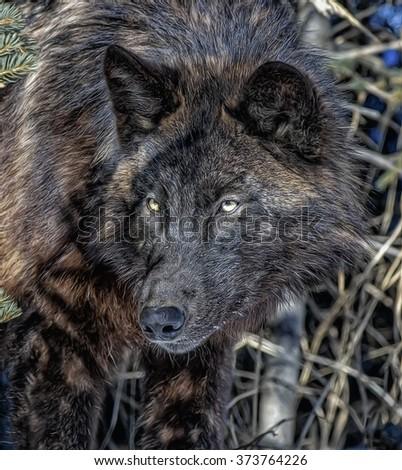 Portrait of black wolf,digital oil painting - stock photo