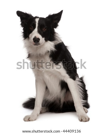 Portrait of Border collie, 3 years old, sitting in front of white background, studio shot