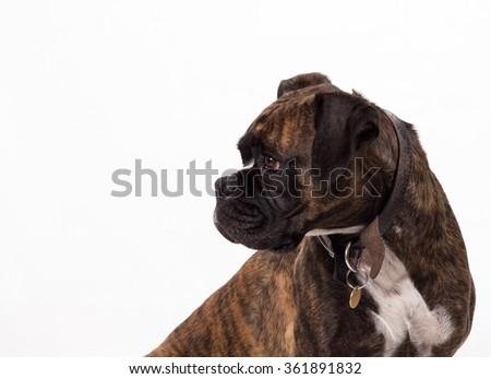 portrait of boxer dog - stock photo