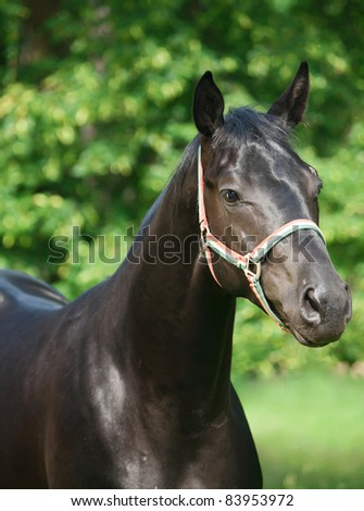portrait of breed trakehner young black stallion