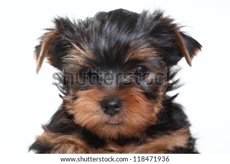 Portrait of breed Yorkshire terrier puppy on white background - stock photo