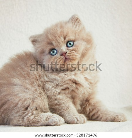 Portrait of British long hair kitten