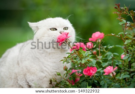 Portrait of british shorthair cat smelling the flowers - stock photo