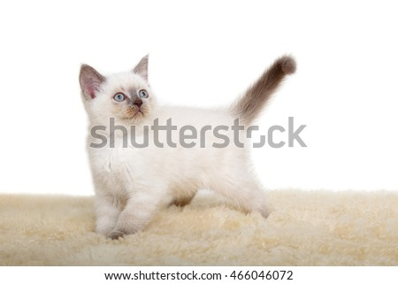Portrait of British Shorthair Kitten sitting, 8 weeks old,