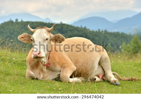 Portrait of brown cow resting in a mountain pasture - stock photo