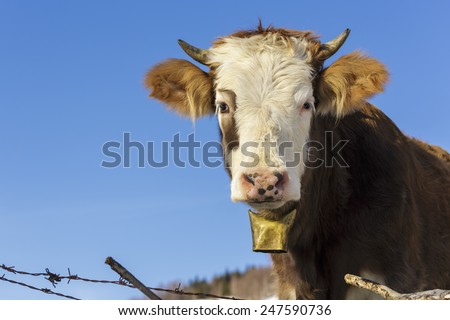 Portrait of brown horned young cow with white head and bell looking at camera, over clear blue sky.