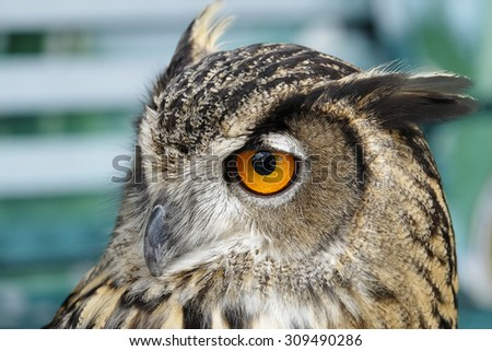 Portrait of brown owl