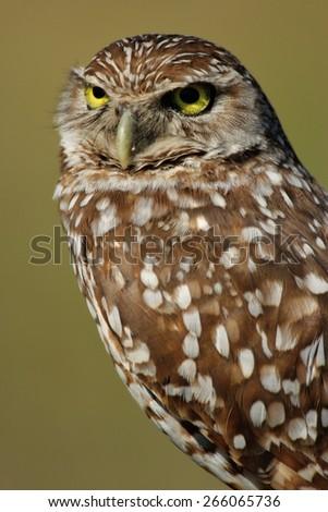 Portrait of Burrowing Owl (Athene cunicularia) - stock photo