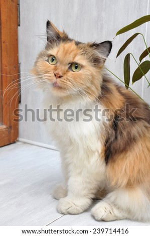 Portrait of Calico Siberian cat in the interior - stock photo
