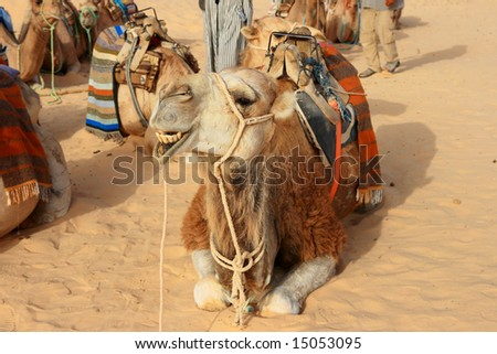 Portrait of camel in harness - stock photo