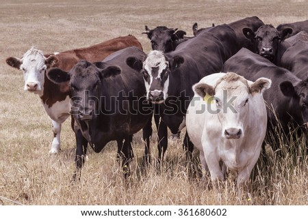 Portrait of cattle in pasture, north east Tasmania, Australia. Photo has been given a vintage treatment