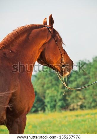 portrait of chestnut arabian horse. back view - stock photo