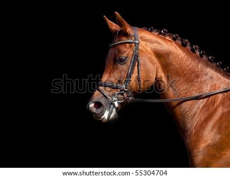 Portrait of chestnut horse, isolated on black background. - stock photo
