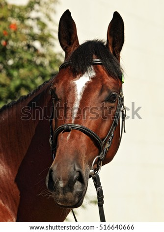 Portrait of chestnut sports horse