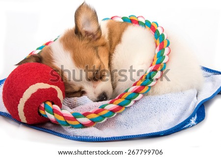 Portrait of chihuahua puppy sleep - stock photo