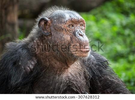 Portrait of chimpanzee. - stock photo