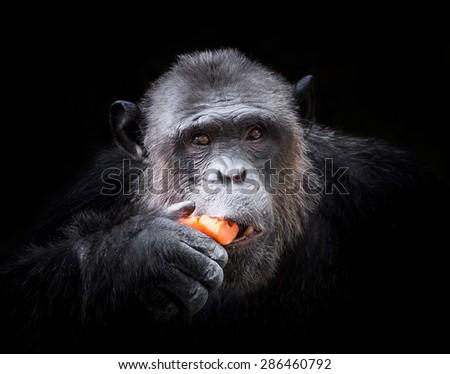 Portrait of chimpanzees. - stock photo