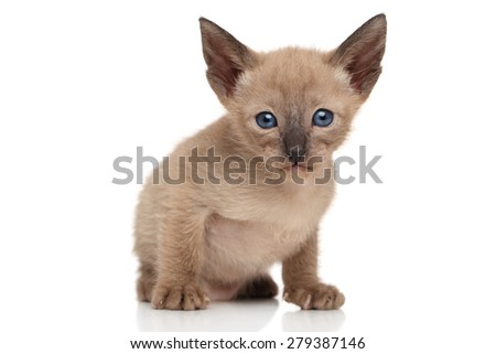 Portrait of chocolate Oriental kitten on white background