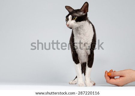 Portrait of Cornish Rex Cat Stands on White Background With Human Hand - stock photo