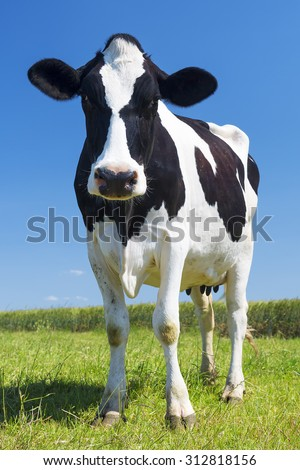 Portrait of cow on green grass and blue sky