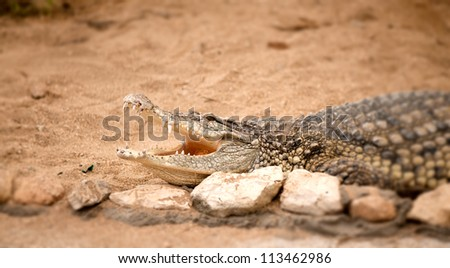 Portrait of crocodile lying on a brown sand - stock photo
