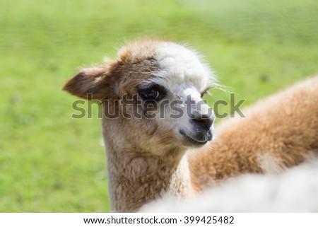 Portrait of cute baby llama with long eyelashes - stock photo