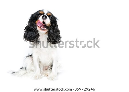 portrait of cute cavalier spaniel isolated on white background, copy space - stock photo