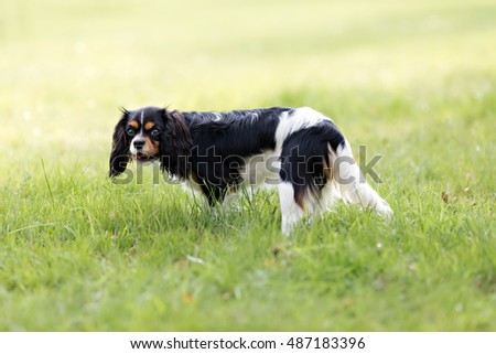 portrait of cute cavalier spaniel playing in the grass