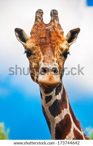 Portrait of cute curious giraffe over blue sky - stock photo