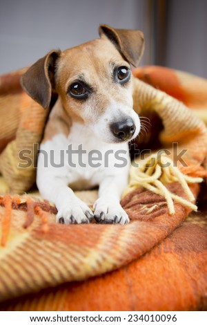 Portrait of cute dog basking resting under a cozy blanket