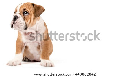 Portrait of cute English bulldog puppy isolated on white background with empty space for ads
